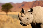 Portrait of a black (hooked-lipped) rhinoceros (Diceros bicornis)