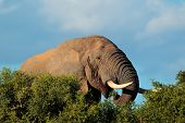 Portrait of an African elephant (Loxodonta africana) feeding, Addo Elephant National park, South Africa