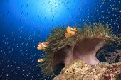 Clown Anemonefish and anemone on coral reef