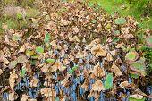 Dead lotus leaves