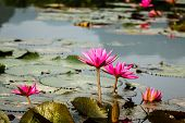 picture of lilly  - Red lilly water flower at Suoi Yen - JPG