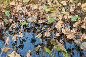 Dead lotus in autumn