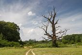 Old dry big tree in the landscape