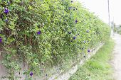 Butterfly Pea Or  Blue Pea Vine