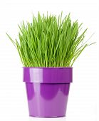 stock photo of catnip  - catnip grass growing in metallic flower pot - JPG