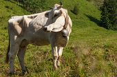 stock photo of milkman  - cow in the hig mountain of Italy - JPG