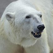 foto of dread head  - The head of a polar bear female - JPG
