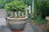 Potted Boxwood