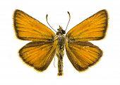 Essex Skipper Butterfly