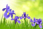 Iris flowers with dewy grass