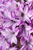 hyacinth background