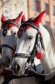 Horses  In Decorative Harness For Cabs On Main Market Square In Krakow In Poland