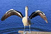 Australian Pelican with spread wings.