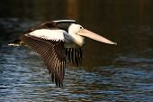 Australian Pelican in flight.