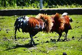Fighting Rooster On The Poultry Farm