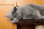 pic of portrait british shorthair cat  - British Shorthair Blue Cat Lying On Scratcher - JPG