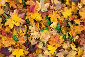 autumn leaves and trefoil-clover