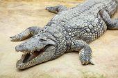 Nile Crocodile, Crocodylus Niloticus