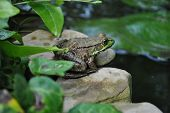 Green Frog on a Rock by a Pond