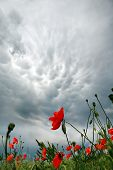 Storm Clouds Over A Field Of Blossoming Red Poppies