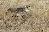 Coyote Blending In