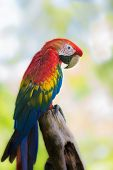 Scarlet Macaw With Log And Nature Background