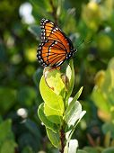 Regal Monarch Butterfly Posing
