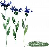 cornflowers drawing by watercolor