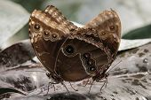 stock photo of mating animal  - Close up of Common Blue Morpho Butterflies Mating - JPG