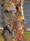 pic of white bark  - White birch tree peeling it - JPG