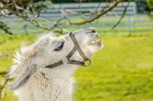 stock photo of lamas  - Portrait of a lama on farm - JPG