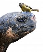 picture of tit  - Closeup picture of a Galapagos giant tortoise with a tiny Eurasian blue tit sitting on its head - JPG