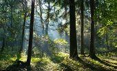 stock photo of alder-tree  - Sunbeam entering rich deciduous stand of Bialowieza Forest misty morning with old alder trees in foreground Poland Europe - JPG