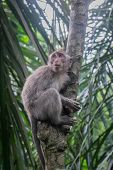 foto of macaque  - Long-tailed Macaque climbing a tree Monkey Forest Ubud Bali