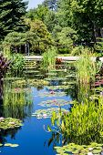foto of cattail  - Lillies Lilly pads and cattails in a blue lake - JPG