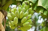 picture of bunch bananas  - Bunch of green bananas on tree in the tropical forest - JPG