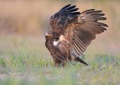 picture of greater  - Greater Spotted Eagle stands on green grass - JPG