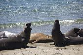 image of sea lion  - Sea Lions on the beach along the Highway 1 from San Francisco to Los Angeles  - JPG