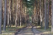 pic of penetration  - The photograph shows the tall pine forest which crosses the dirt - JPG