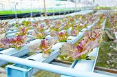 picture of hydroponics  - The Red batavia vegetable in hydroponic farm - JPG