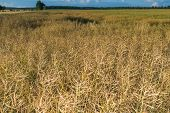 picture of rape-field  - Landscape of rape field at summer - JPG