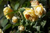 foto of rose bud  - A cluster of yellow rose flowers  - JPG