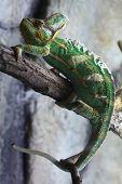 image of chameleon  - Veiled chameleon  - JPG