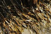 picture of bladders  - Spiral Wrack  - JPG
