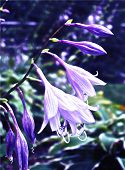 Painted Hosta Flower In Garden