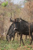 Blue Wildebeest Pair