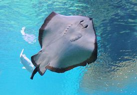 picture of stingray  - beautiful stingray swimming gliding underwater belly to camera