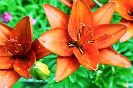 foto of defloration  - red lily flowers on the green summer background - JPG