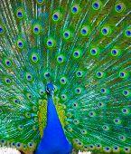 pavão bonito