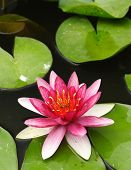 Nymphaea Water lilly
